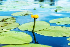 Water lilly in the pond