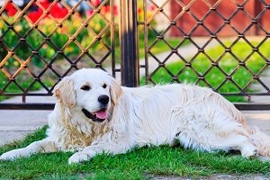 Golden retriever near the house
