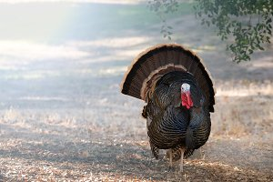 Wild turkeys strutting in sunshine