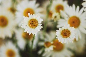 Dainty Daisy Closeup