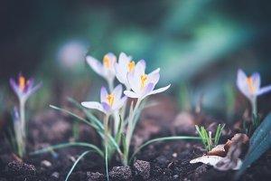 Crocuses flowers on garden bed