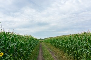 road through corn fields