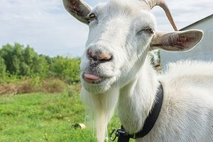 Goat shows tongue on grass