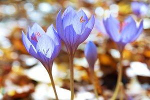 Flowers crocus