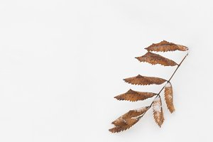 Dry leaf of rowan lying in the snow.