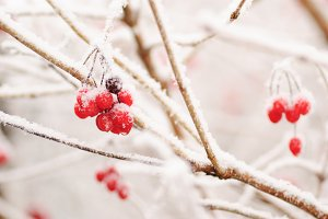 Red rawanberry in winter
