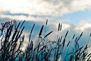 Wildflowers silhouette