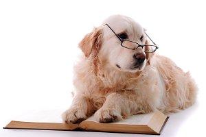 Golden retriever learning