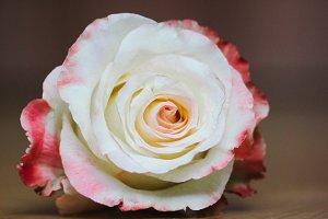 A cute rose