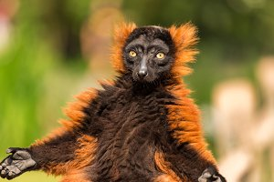 Red ruffed lemur in Artis Zoo.