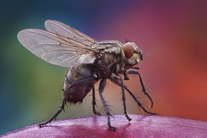 Home fly on the apple