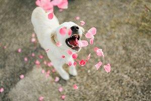 Golden Retriever Puppy Play