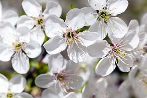 cherry blossom ,  spring