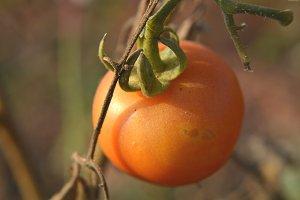 Riped Tomato