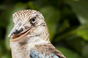 Kookaburra close up.