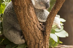 Koala in a eucalyptus tree.