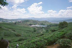 Dalat green tea plantation on wester