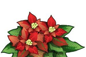 The poinsettia plant. Vector.
