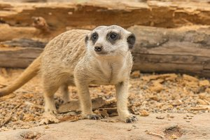 One meerkat looking around.