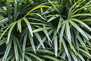 Rhapis excelsa or Lady palm