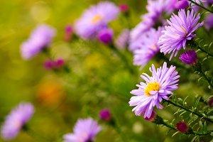 Lilac daisy