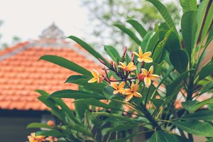 Plumeria flower on a plumeria tree. Frangipani flowers background. Bali island. White and yellow plumeria.