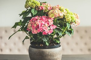 Pot with Hydrangea flowers on table