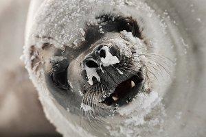 angry seal