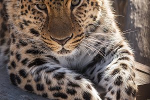 Portrait of the leopard