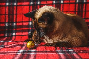 Siamese Thai cat on a red plaid with Christmas toys, decor, ornaments. A cat is playing with toys.