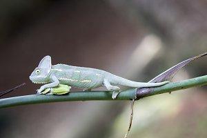 cameleon, frog, animal,