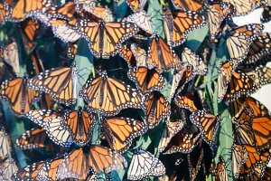 Monarch Butterflies Cluster Abstract