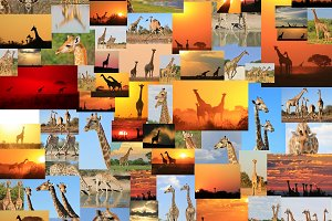 Giraffe - Wildlife Wonder and Icon