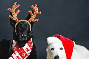 Two cute dogs in Christmas accessories