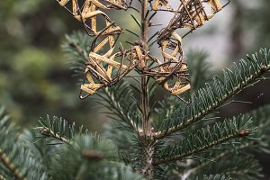 Christmas star on fir in the forest