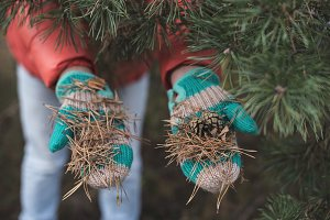 Gloved hands hold pine needles