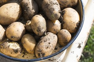 Potatoes with dirt on them