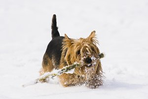 Yorkshire Terrier for a walk.