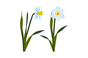 Daffodils with open blue buds and long green stem