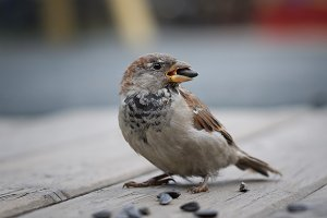 A Sparrow with a sunflower seed in its beak