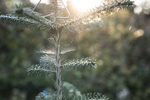 Christmas tree on sun light