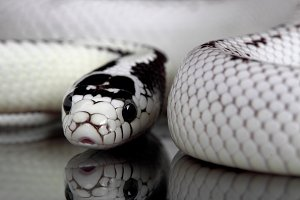 Lampropeltis getula Californiae