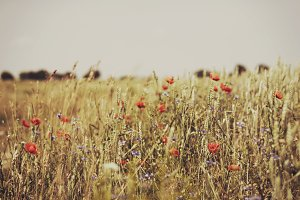 A beautiful wild field with poppies