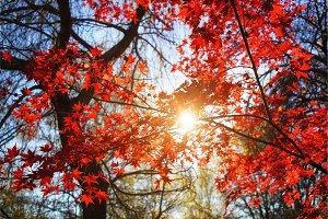 Sunny autumn maple tree