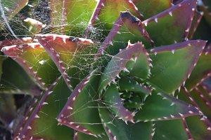 Spidernet Succulent