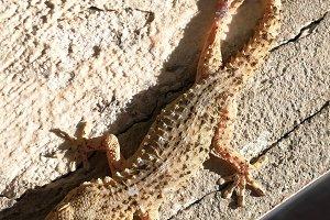 Gecko, details of their skin