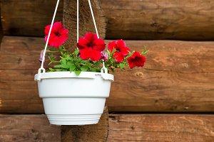 Red flower petunia