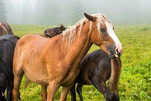 Brown chestnut horse