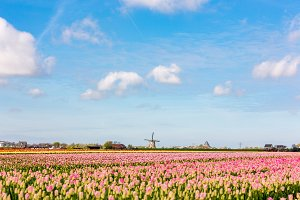 Fields with pink tulips and mill.