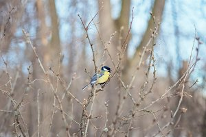 Great titmouse sitting on a branch in forest, natural outdoor landscape photography. Wild birds in winter nature.